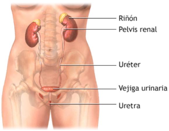 Infecciones del Tracto Urinario - Clínica Urológica. Urología Salamanca. Dr. Miguel Ángel García - Urólogo Salamanca